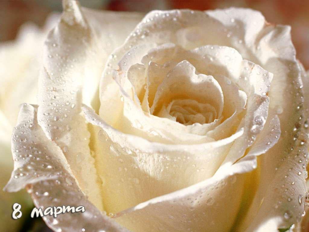Роза 8 Марта - C 8 марта поздравительные картинки