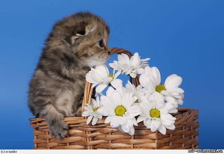 котенок с ромашками~Кошки
