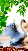 Белый лебедь - Фото животных открытки и картинки
