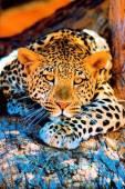 Красивые фотографии Леопарда - Фото животных открытки и картинки