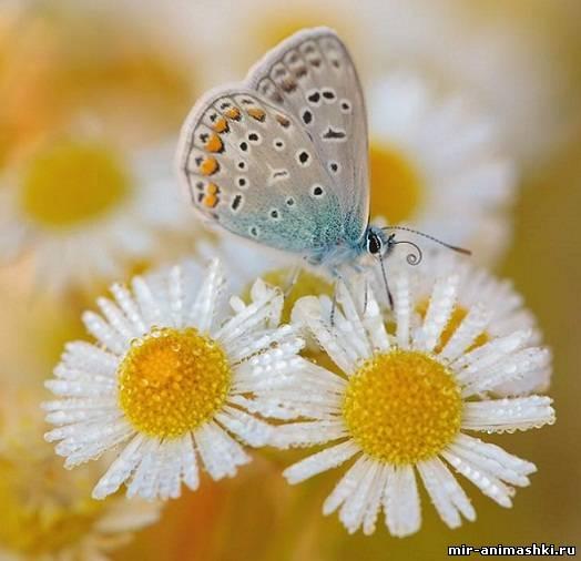 ромашки с бабочкой~Ромашки