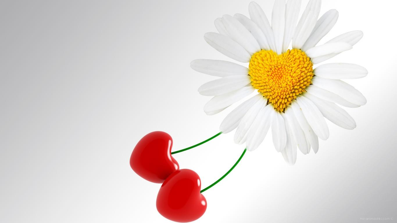 Сердце ромашка на День Святого Валентина 14 февраля - С днем Святого Валентина поздравительные картинки