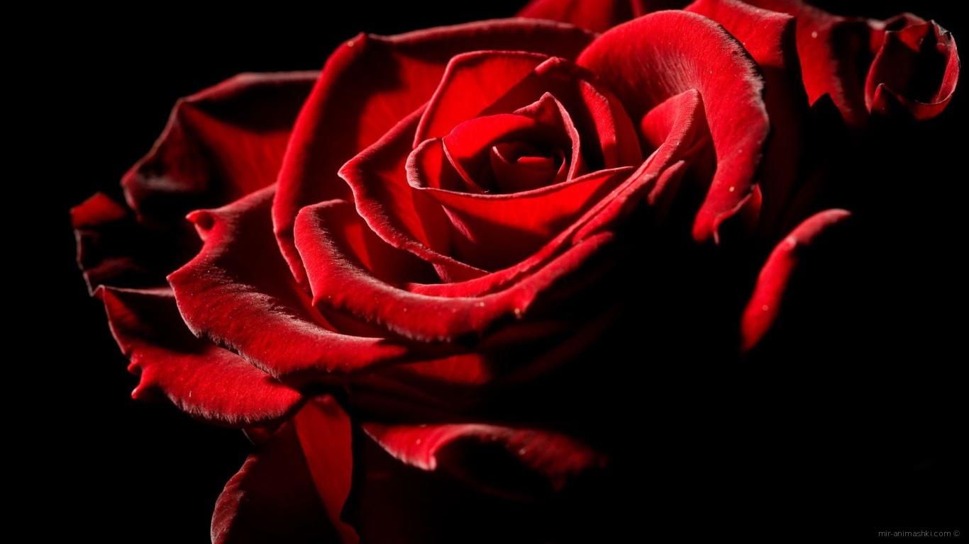 Великолепная роза на День Влюбленных 14 февраля - С днем Святого Валентина поздравительные картинки