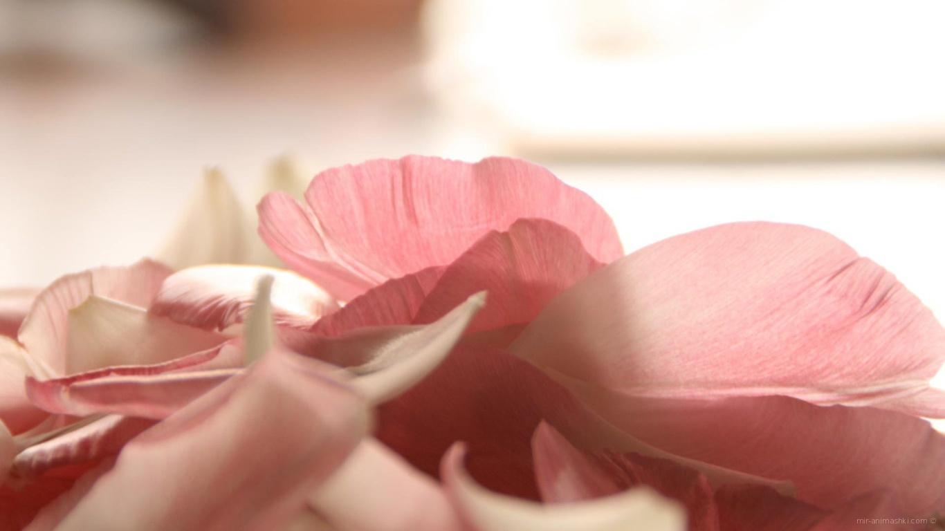 Лепестки роз на День Святого Валентина 14 февраля - С днем Святого Валентина поздравительные картинки