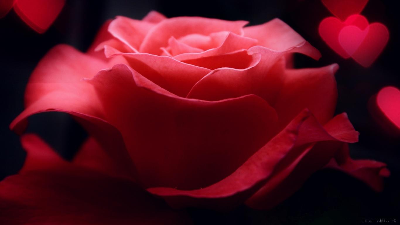 Роза и сердца на День Святого Валентина - С днем Святого Валентина поздравительные картинки