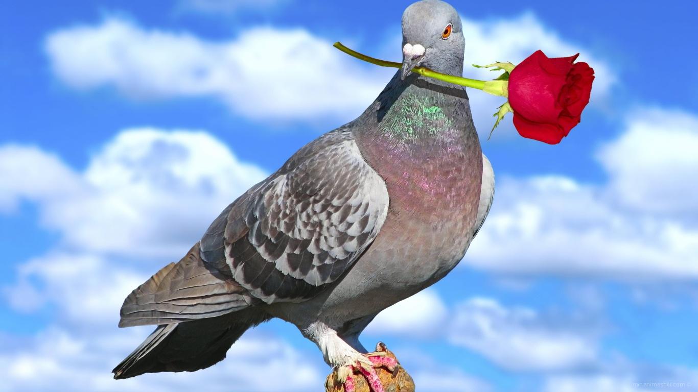 Голубь с розой на День Святого Валентина - С днем Святого Валентина поздравительные картинки