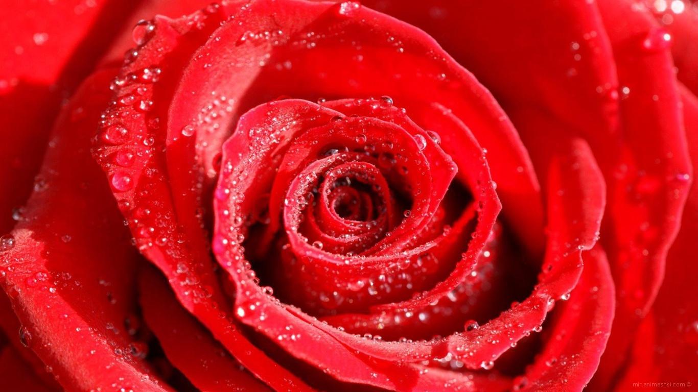 Роса на розе в День Святого Валентина - С днем Святого Валентина поздравительные картинки