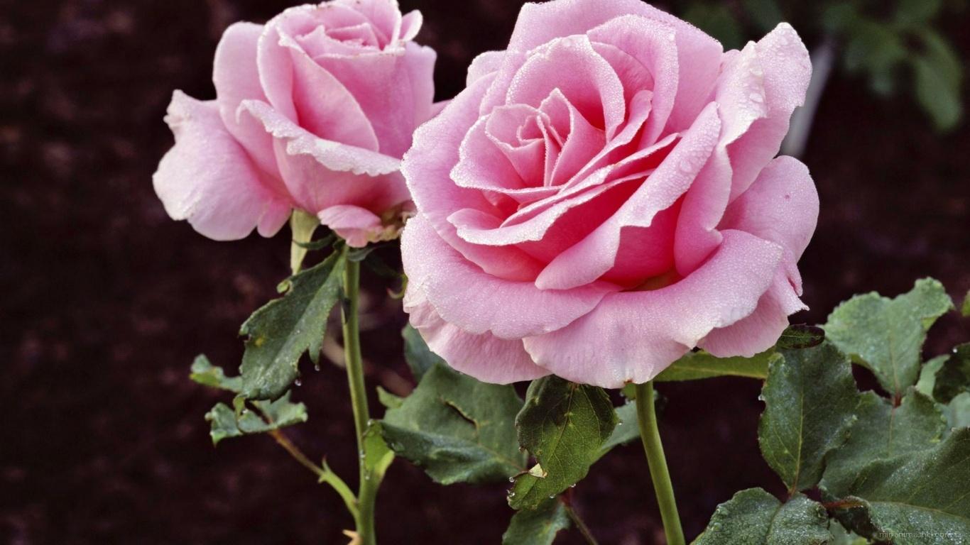 Цветы в подарок на 8 марта - C 8 марта поздравительные картинки