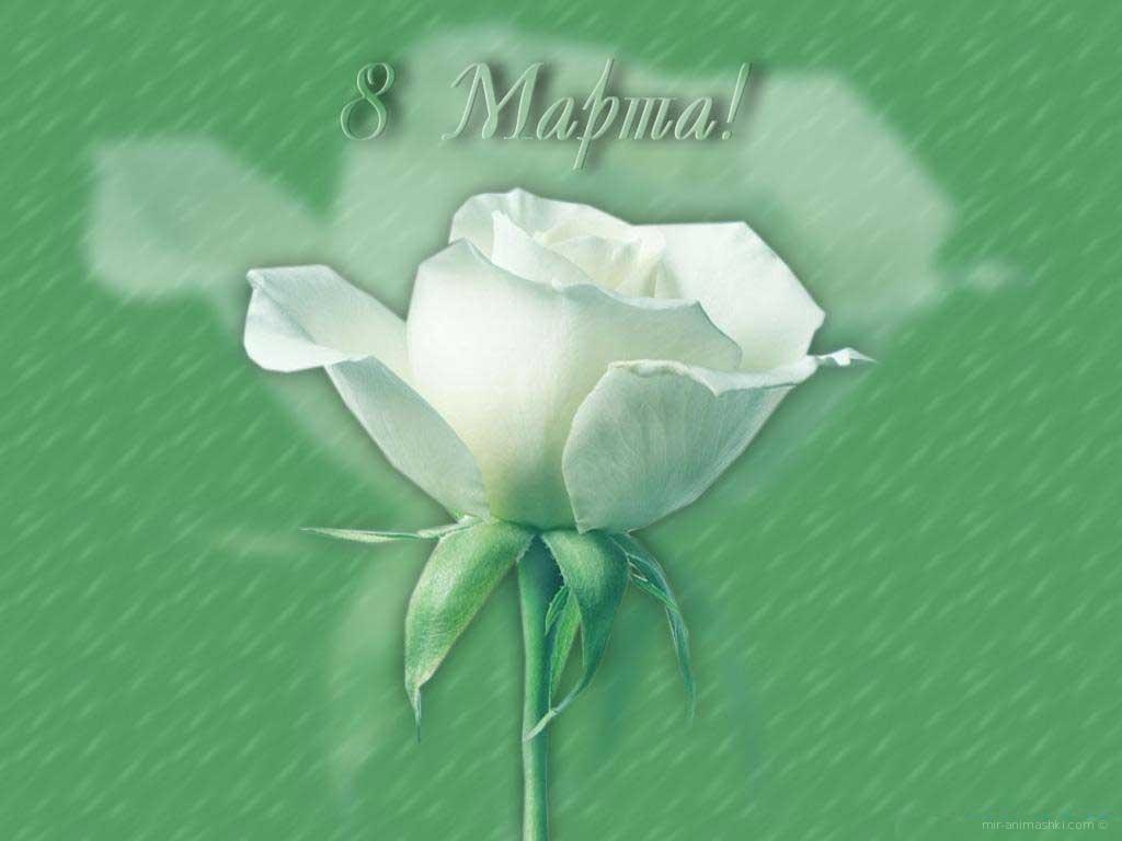 Белые розы - С Масленицей поздравительные картинки