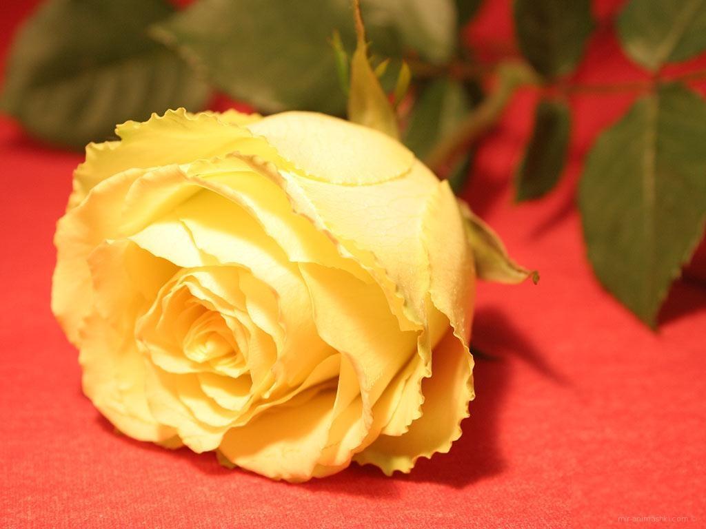 Цветок на 8 марта - C 8 марта поздравительные картинки