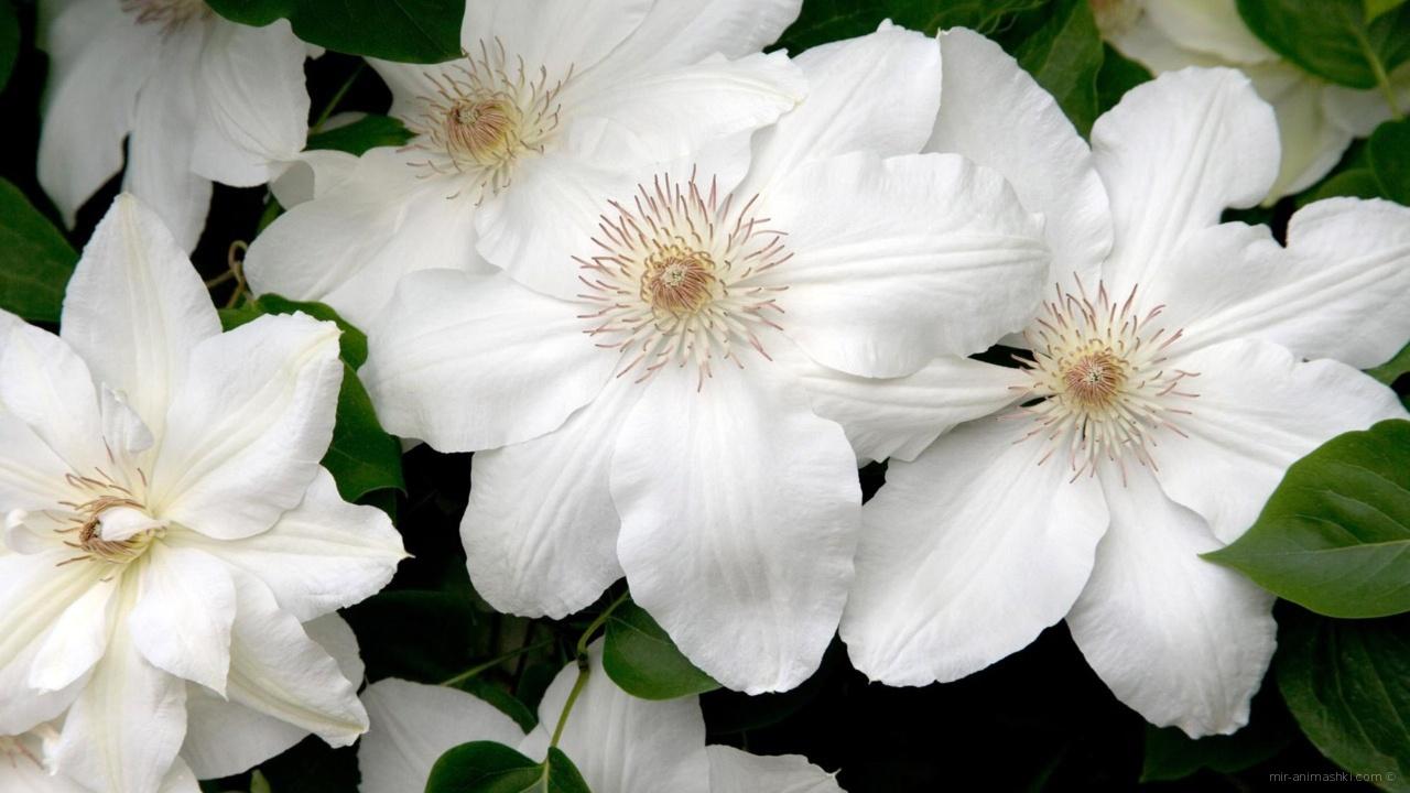 Секс цветы вишни 9 фотография