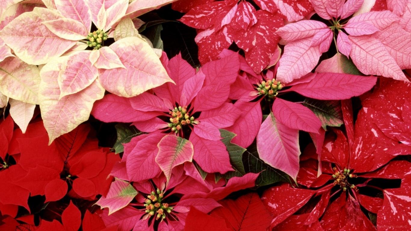 Красивые цветы приятным женщинам - C 8 марта поздравительные картинки