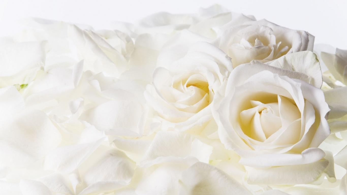 Белые розы на 8 марта - C 8 марта поздравительные картинки