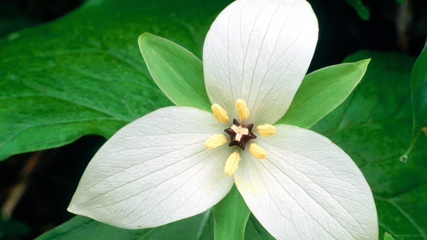 Белый цветок женщинам на 8 марта - C 8 марта поздравительные картинки