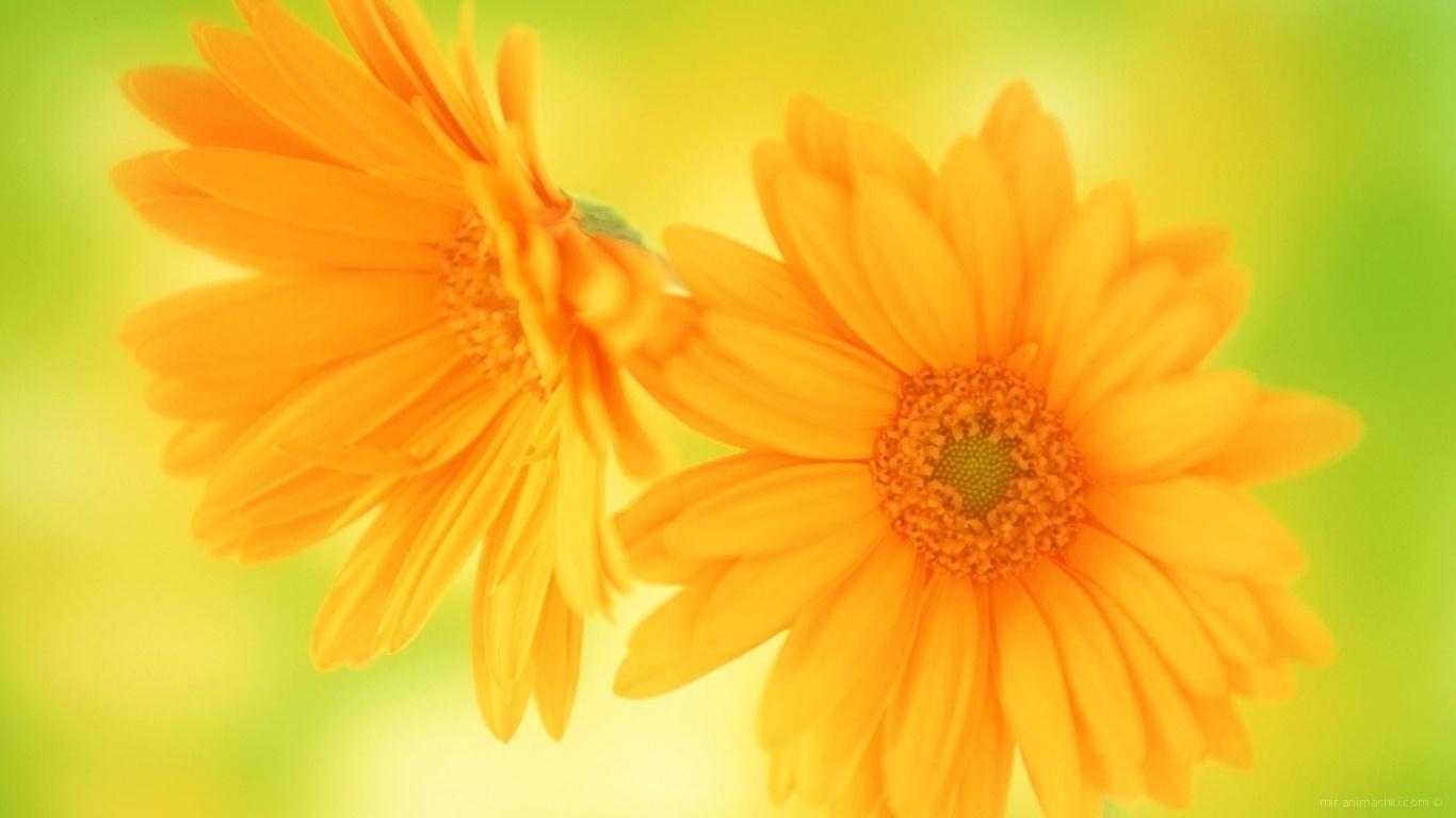 Желтые цветы в подарок любимой - C 8 марта поздравительные картинки