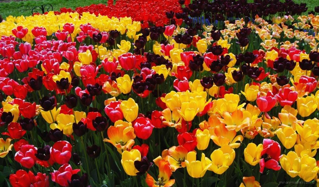 Поле тюльпанов на 8 марта - C 8 марта поздравительные картинки