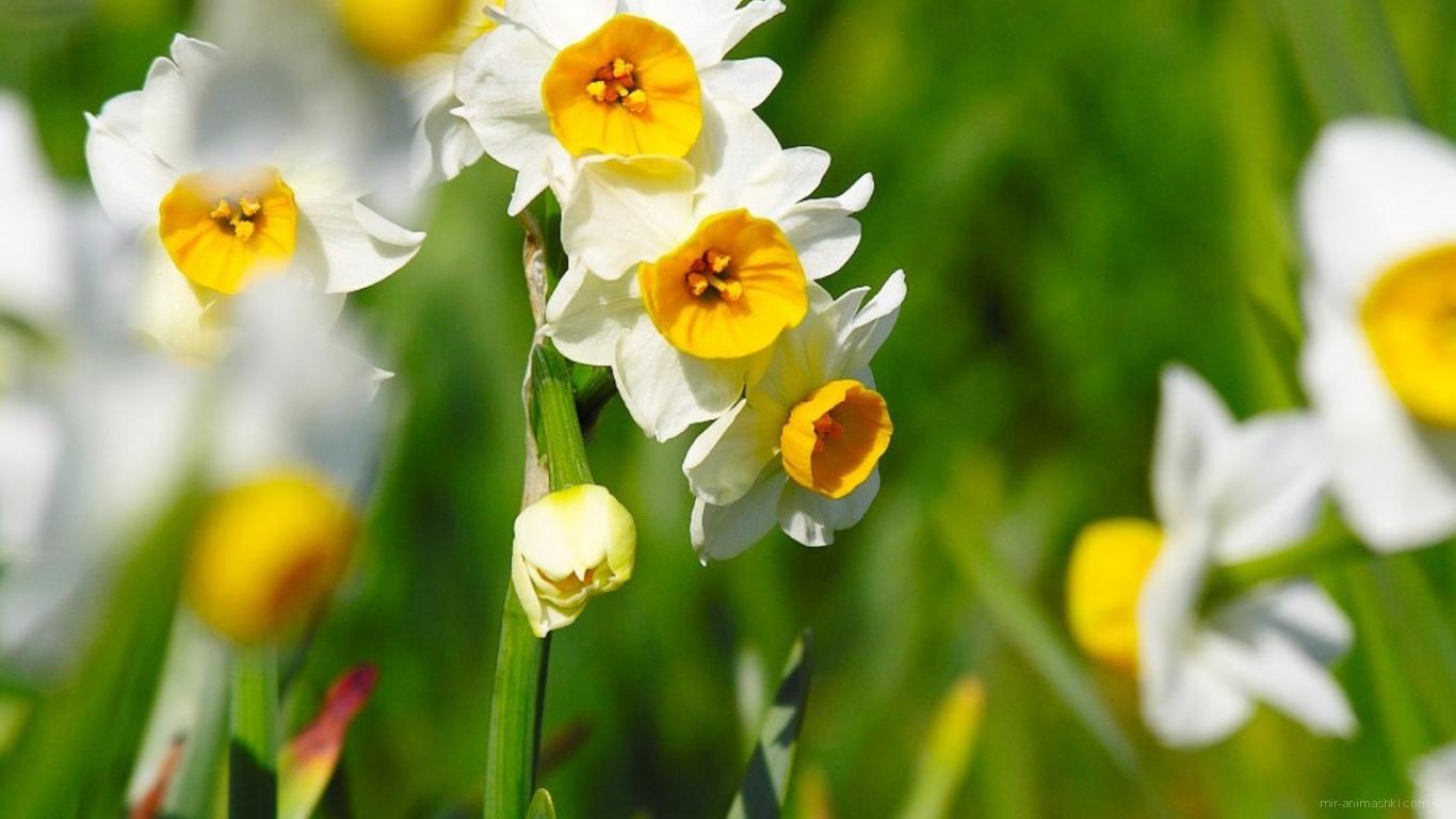 Нарциссы на 8 марта - C 8 марта поздравительные картинки