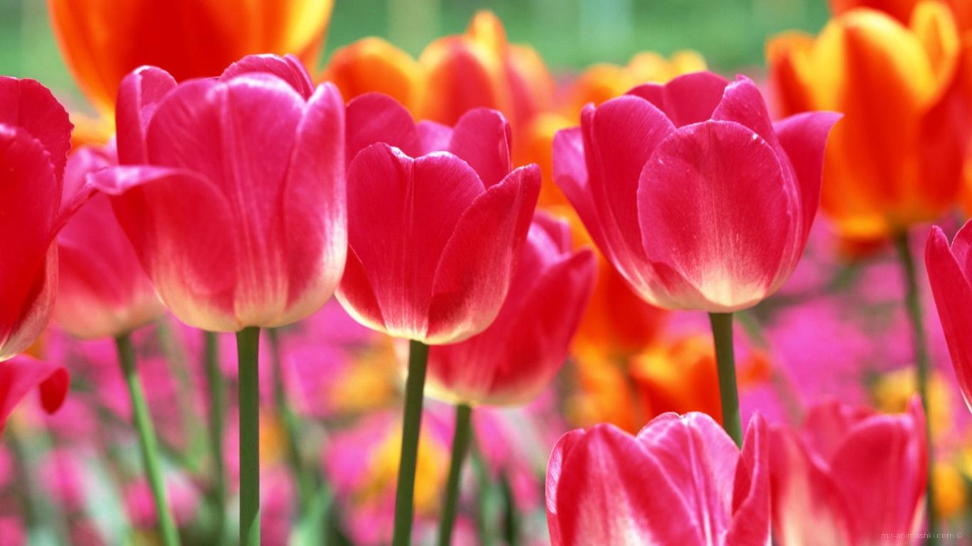 Тюльпаны на 8 марта - C 8 марта поздравительные картинки