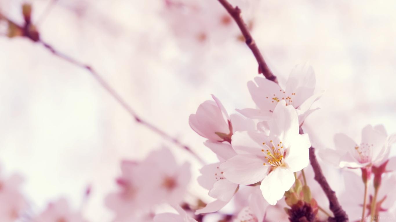 Цветок сакуры на 8 марта - C 8 марта поздравительные картинки
