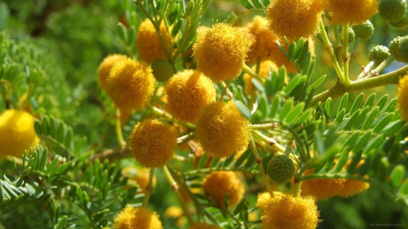 Цветы мимозы на 8 марта - C 8 марта поздравительные картинки
