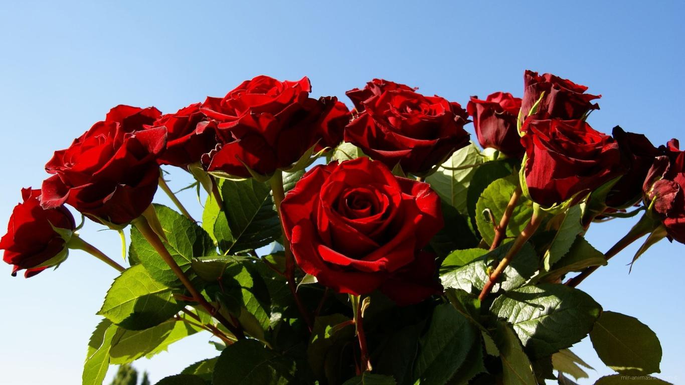 Красные розы на 8 марта на фоне неба - C 8 марта поздравительные картинки