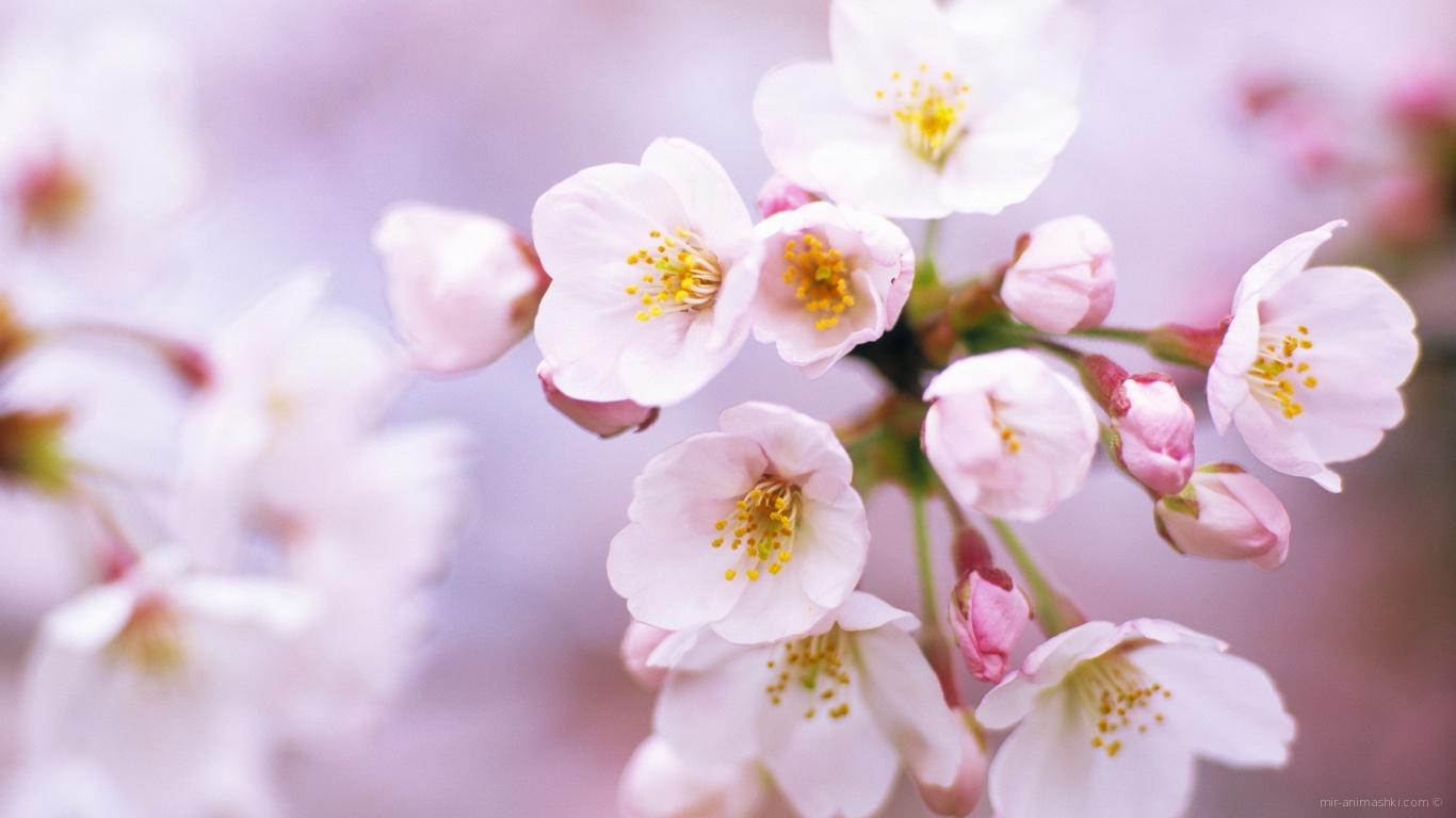 Открытка с цветами сакуры, днем