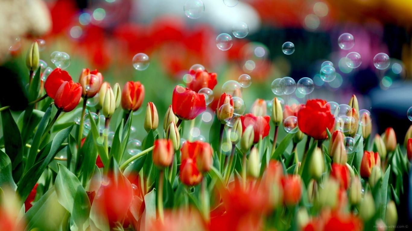 Мыльные пузыри на красных тюльпанах к 8 марта - C 8 марта поздравительные картинки