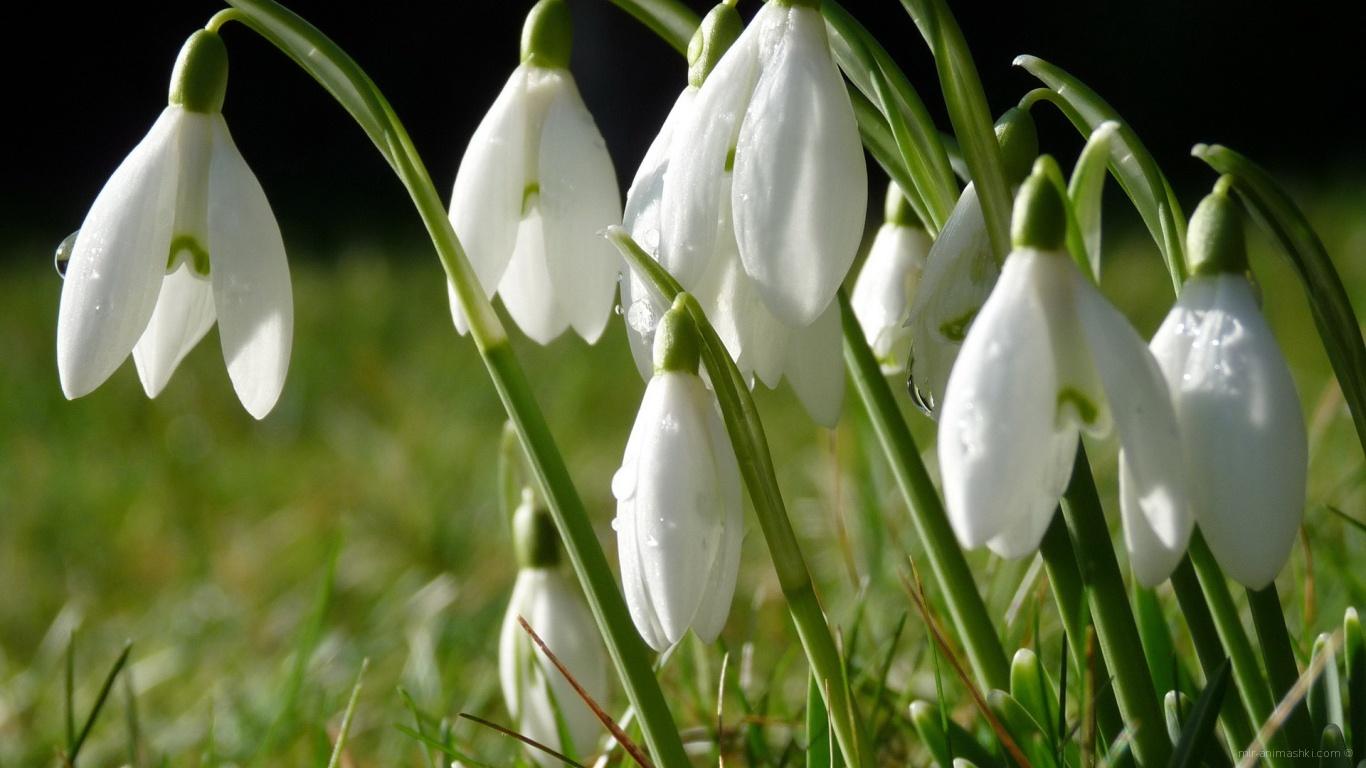 Белые первоцветы в букет для любимой на 8 марта - C 8 марта поздравительные картинки