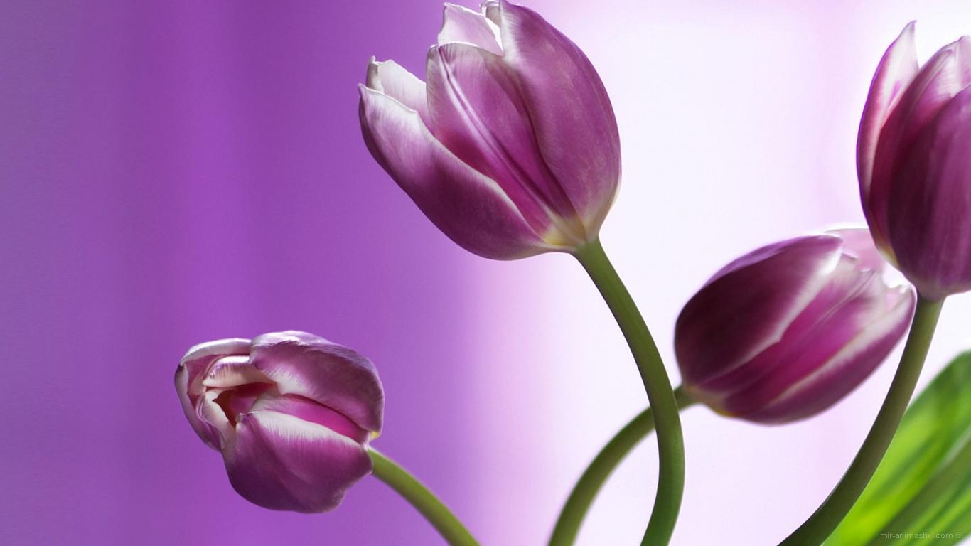 Букет из фиолетовых тюльпанов для девушки на 8 марта - C 8 марта поздравительные картинки