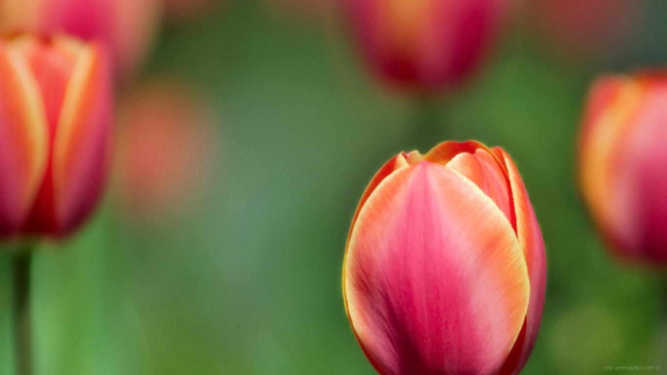 Цветы тюльпаны на 8 марта - C 8 марта поздравительные картинки