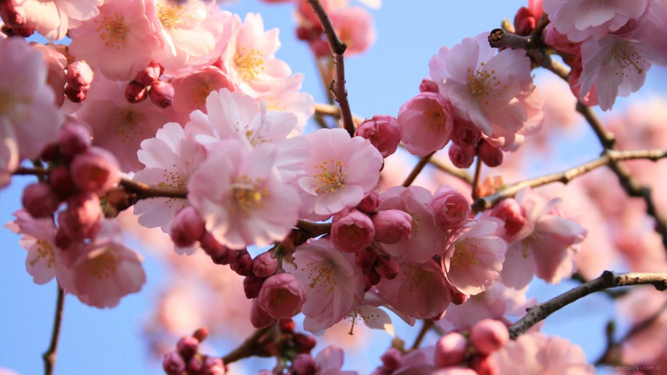 Розовые цветы на деревьях на 8 марта - C 8 марта поздравительные картинки
