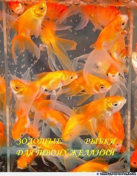 Золотая рыбка~Открытки другу, подруге