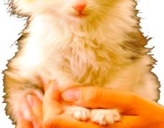 Рыжий котёнок в сидит на руках