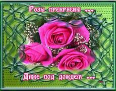 Розы прекрасны даже под дождём