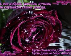 Бархатная гордая красивая бордовая роза