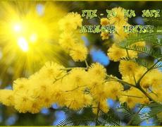 Цветет мимоза