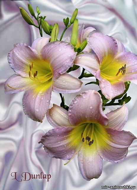 лилии 12